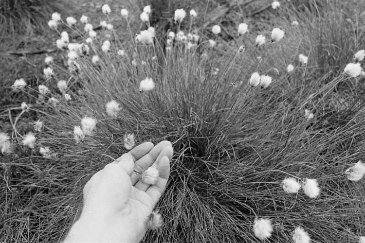 »Scheiden-Wollgras (Eriophorum vaginatum)«, aus dem Portfolio »Sommer in einer Hand«, Foto © Friedhelm Denkeler 1985