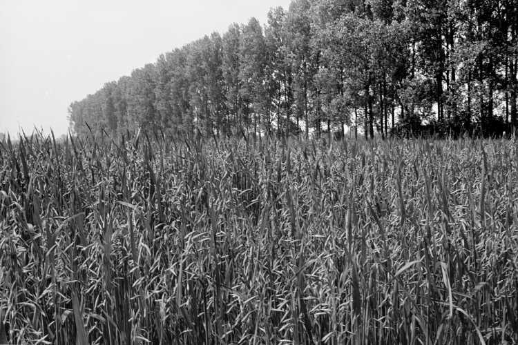 »Haferfeld an der Pappelallee«, aus dem Portfolio »Sommer in einer Hand«, Foto © Friedhelm Denkeler 1985