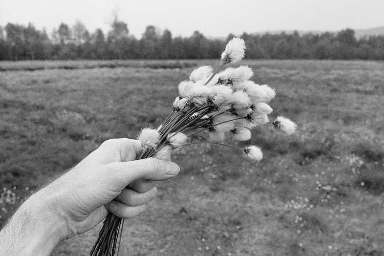 »Wollgras-Strauß«, aus dem Portfolio »Sommer in einer Hand«, Foto © Friedhelm Denkeler 1985