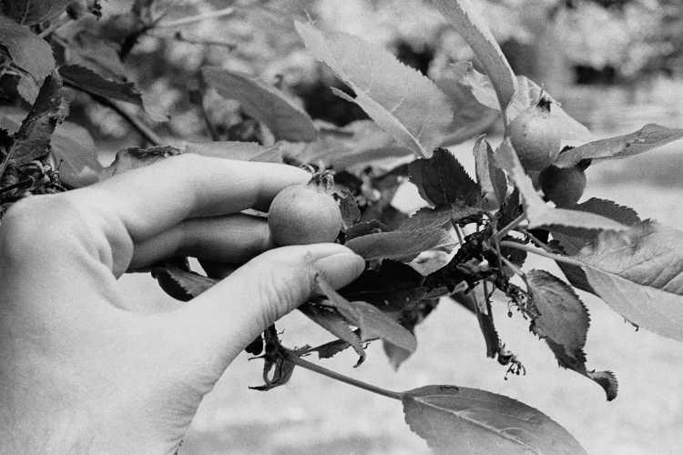 »Junge Früchte«, aus dem Portfolio »Sommer in einer Hand«, Foto © Friedhelm Denkeler 1985