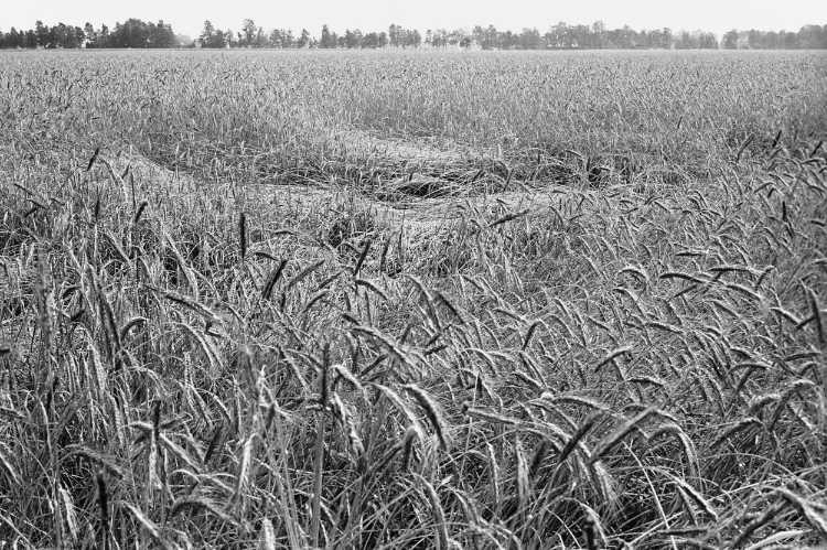 »Korn kurz vor der Ernte« (Ost-Westfalen), Foto © Friedhelm Denkeler 1980